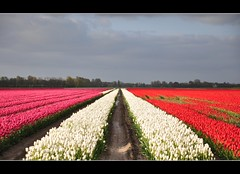 A foretaste (powerfocusfotografie) Tags: pink flowers light red sky white holland colors lines clouds contrast vanishingpoint tulips perspective fields groningen agriculture henk verdwijnpunt nikond90 100commentgroup powerfocusfotografie