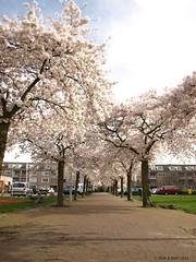 Spring Blossoms (Rick & Bart) Tags: flowers trees nature bomen blossom natuur bloesem bloemen heemskerk springblossoms sooc botg rickbart rickvink