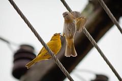 Bird Atack (Edi Eco) Tags: brazil nature beautiful yellow canon rebel flying fight poste atack minas natureza passarinho amarelo alta sao fio passaro xsi brid briga pata sapucai voando luta goncalo tensao