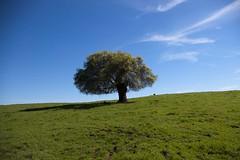 table mountain tree (fgmachine) Tags: california northerncalifornia tablemountain orovillecalifornia