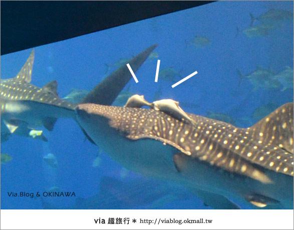 【沖繩景點】美麗海水族館~帶你欣賞美麗又浪漫的海底世界!26