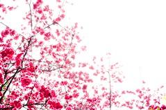 [路邊櫻花] (funkyruru) Tags: life cherry 50mm blossom cherryblossom ricoh a12 prunus 櫻花 campanulata gxr 生活隨拍 山櫻花 prunuscampanulata 緋寒櫻 äåªá ¤säåªá ¥í¬¡àh©ç ãn´häå