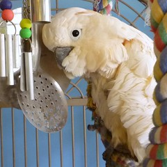 Cockatoo Cages - Zoe on her swing