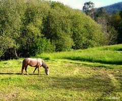 Verdes son os campos (Franco DAlbao) Tags: horse naturaleza nature caballo lumix country meadow galicia prado terra gondomar tierra leicalens vilaza dalbao francodalbao