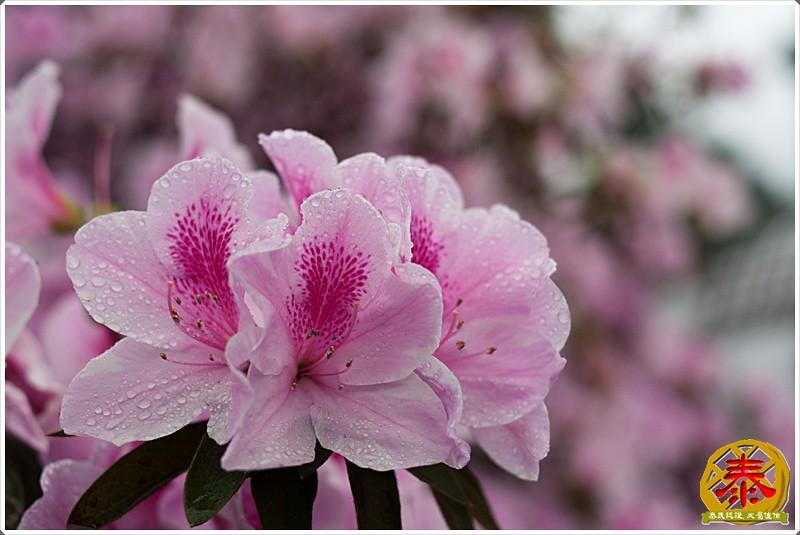 2011-03-26-台大杜鵑花 (2)