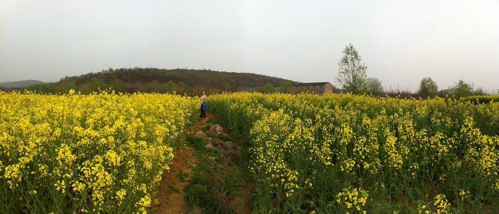 Canola fields, only a 20 minute walk away