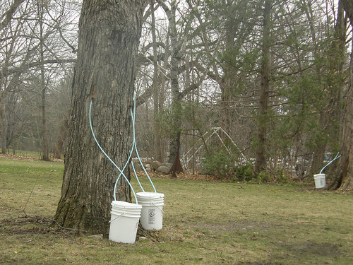 Tapping maple sap