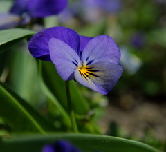 One Flower (Hindrik S) Tags: blue plant flower color macro green nature closeup garden 50mm colorful blauw sony natuur 1750 blau tamron viola cpf kleur a300 viooltje tamron1750 sonyalpha tamronspaf1750mmf28xrdiiildasphericalif 300 alpha300 sonyphotographing fioeltsje