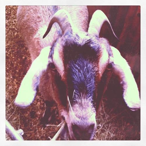 visiting goats