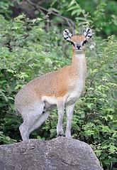 Klipspringer, Lake Manyara National Park