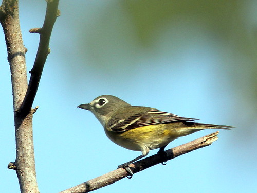 Blue-headed Vireo 2-20110412
