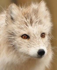 Portrait Of An Artic Fox (affinity579) Tags: wild portrait white animal closeup spring nikon quebec wildlife fox ecomuseum articfox d90 coth supershot specanimal
