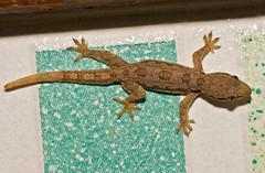 Thai Gecko On Bathroom Tile (aeschylus18917) Tags: macro nature thailand nikon reptile g wildlife lizard thai micro chiangmai gecko nikkor f28 vr pxt 105mm yamori reptilia 105mmf28  squamata  gekkonidae 105mmf28gvrmicro lacertilia d700 nikkor105mmf28gvrmicro  gekkoninae ratchaanachakthai gekkota nikond700 danielruyle aeschylus18917 danruyle druyle