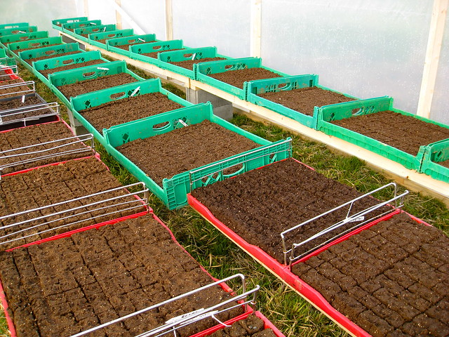 Trays of seedlings 01