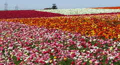 The Flower Fields 2011 9 (Marcie Gonzalez) Tags: california lighting county ca morning flowers light plants sun plant flower color nature colors field canon botanical photography daylight petals rainbow san day natural bright many diego sunny ranunculus petal southern rows bloom fields destination gonzalez blooms carlsbad marcie attraction attractions botanicals blooming the destinations theflowerfieldscarlsbad marciegonzalez marciegonzalezphotography