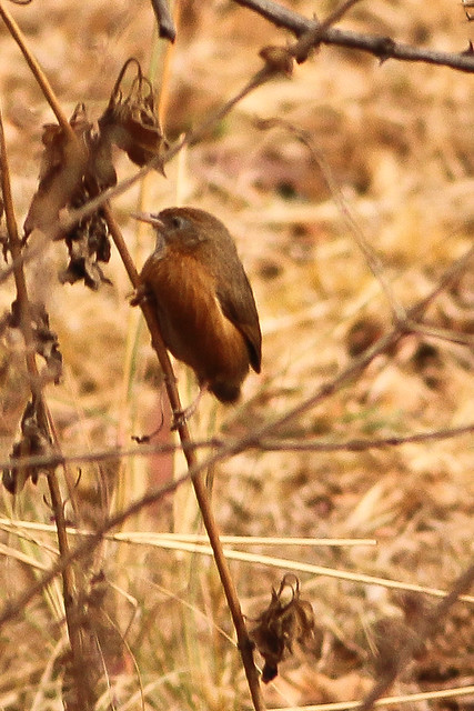 Indian Rufous Babbler