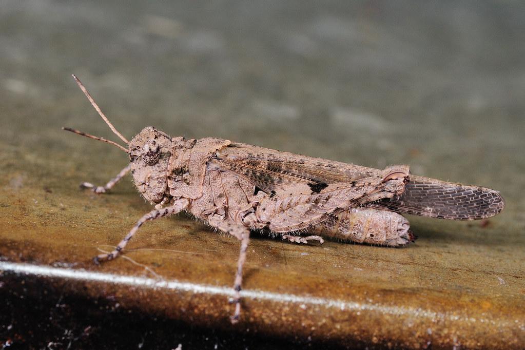 疣蝗 Trilophidia japonica