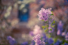 last of the lilacs. (tumbleweed.in.eden) Tags: flowers light canon spring bush purple bokeh lilac lilacs 50mmf14 happybokehwednesday andtheysmellbetterthantheylook