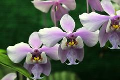 Orchidee (Michael Döring) Tags: orchidee bochum d300 frauenschuh botanischergarten ruhruniversität querenburg michaeldöring afs60microg
