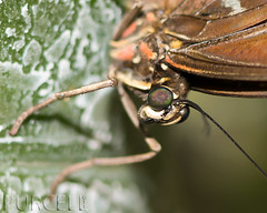 Monday Macro [Explored] (Jim Purcell) Tags: usa macro mediumformat butterfly tucson az lepidoptera 400 400views animalia arthropoda tucsonbotanicalgardens insecta explored butterflymagic macromonday tucsonphotographer pentax645d smcpentaxa645120mm4macro