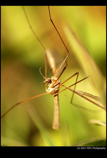 Winter Crane Fly (Trichocera spp.)