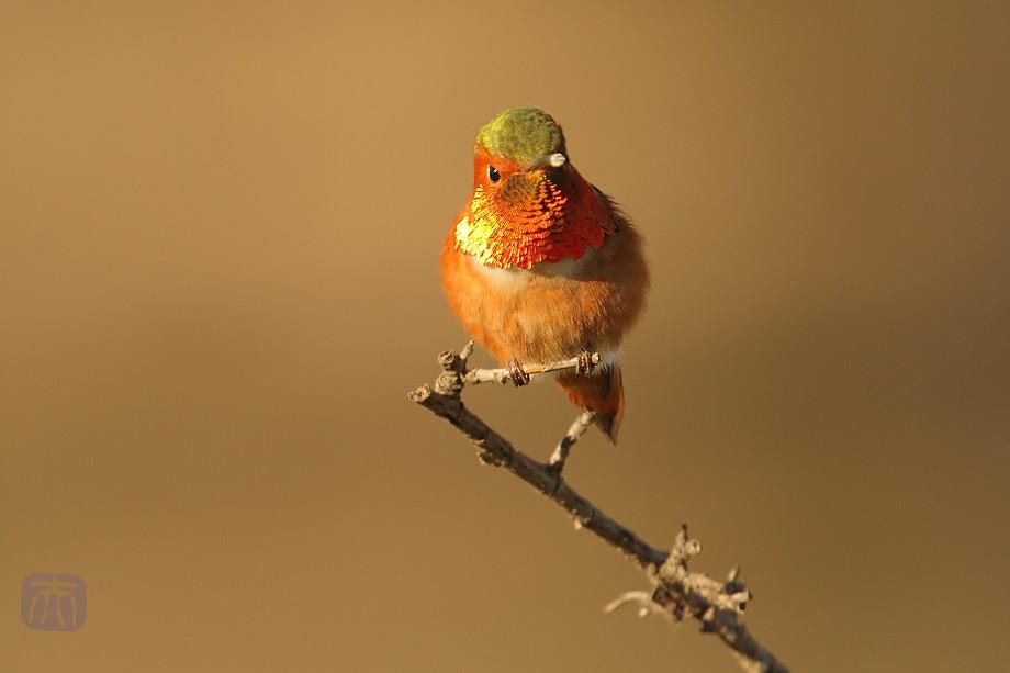 Allen's Hummingbird o0211