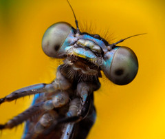 Hello! (robchopper) Tags: macro nature closeup insect nikon florida 1855mm damselfly reverselens odonata sb400 diydiffuser