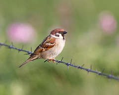 Loving the Bokeh (Andrew Haynes Wildlife Images) Tags: bird nature bokeh wildlife treesparrow eastyorkshire bemptoncliffs canon7d ajh2008