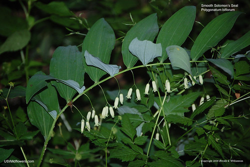 Smooth Solomon's Seal - Polygonatum biflorum