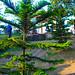 Small Pine Tree