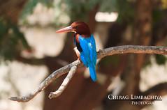 Kingfisher (Chirag Limbachiya) Tags: india bird birds kingfisher mumbai