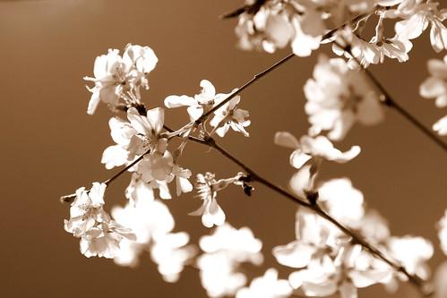 桜アンティーク