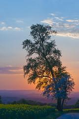 suntree (staflo) Tags: sunset tree evening spring minolta sony full frame af fullframe alpha fx 850 a850 vollformat minoltaaf28135mmf445