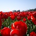 Skagit Valley Tulip Adventure