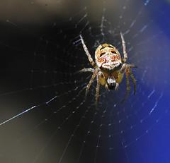 Araignée (jojofotografia) Tags: france macro spider interestingness interesting nikon blu sigma explore 105 fr francia nero araignée ragno dettaglio sigma105 ragnatela sigma105mm d700 nikond700