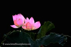 Lotus Flower # 72 (Amazing Tan Photos) Tags: flowers meditation  macrophotography   flordelotus lotusflowers flowerphotography fiorediloto hoasen   lotosblume bungateratai lotusflowerpictures   kwiatlotosu lotusflowerimages lotusblomst lotusflowerphotos fleurdeloto flordeloto lotusbloem lootuskukat lotosovkvty lotusblommorlotusblomster buddhistsymbol