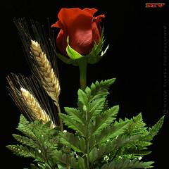 Una Rosa para Ti (m@tr) Tags: barcelona flowers espaa flores canon catalunya rosas ripollet rosasrojas canoneos400ddigital unarosaparati mtr marcovianna canonef2880mmf3556