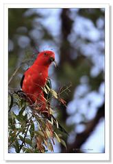 Australian King Parrot-6645 (Barbara J H) Tags: parrot australia qld kingparrot australianwildlife australiankingparrot australianbird australiannativebird imbil birdsofaustralia australianparrot malekingparrot wildlifeofaustralia barbarajh maryvalley australianatiefauna