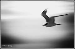 Royal Tern (Kevin B Photo) Tags: park morning wild sky blackandwhite usa white blur bird beach nature water beautiful beauty horizontal closeup clouds america outdoors photography one coast fly flying wings movement day exterior unitedstates natural artistic florida cloudy native action wildlife south wing scenic royaltern southern coastal daytime southeast winged avian saltwater serenitynow kevinbarry canaveralnationalseashore wowiekazowie