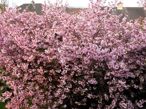 Cherry trees, Alloa