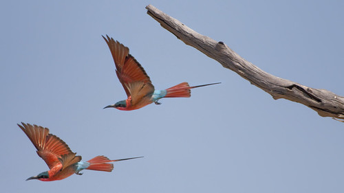 Southern Carmine Bee-eater (Merops nubicoides) - In flight