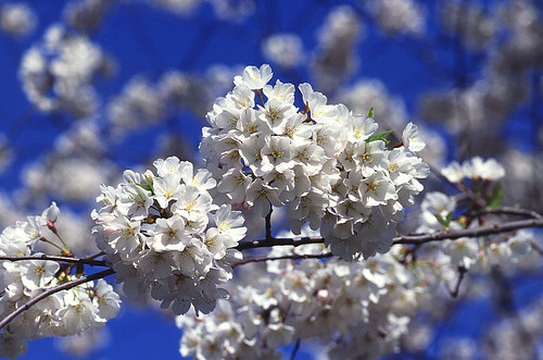 800px-Cherry_tree_blossoms