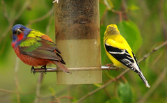 painted bunting (lanaganpm) Tags: our male painted feeder bunting a