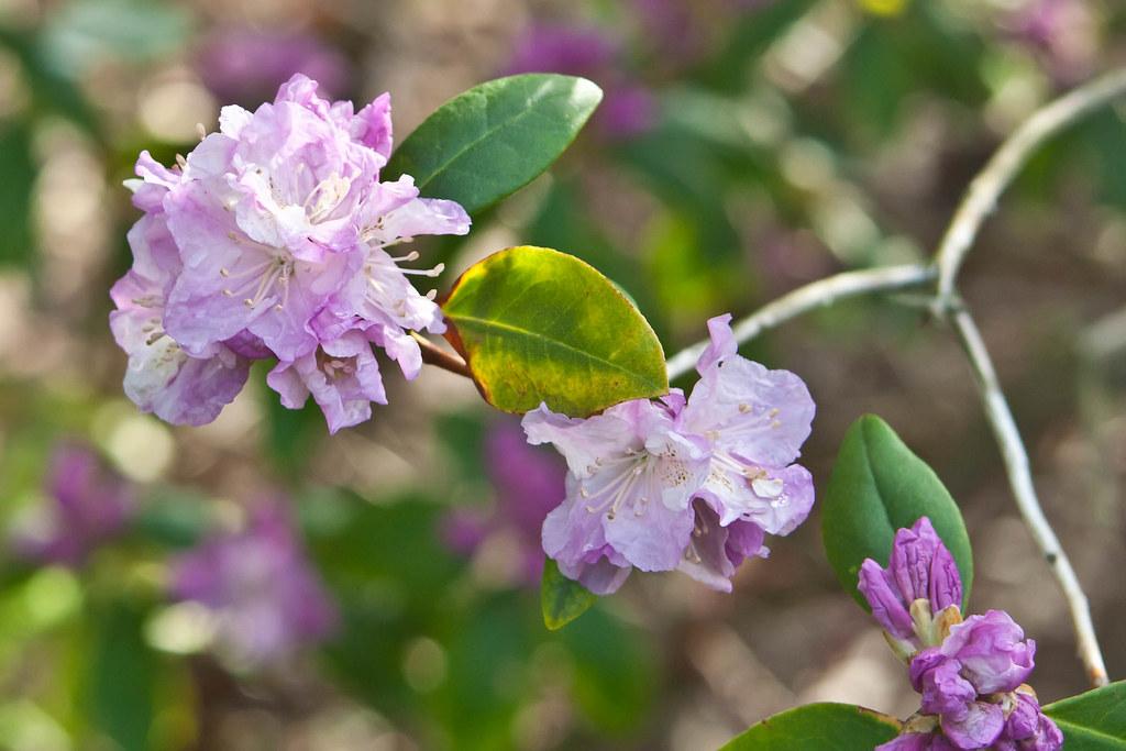 BTB - Rhododendron Close Up - Jenkins Arboretum