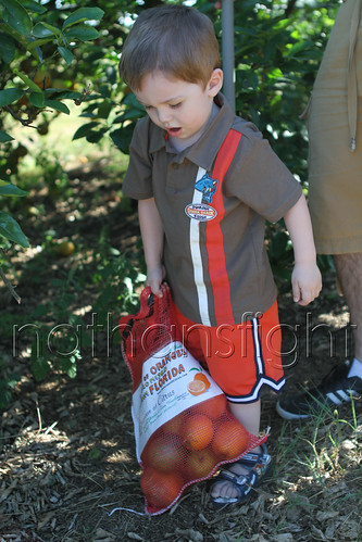 Picking Florida Oranges-9