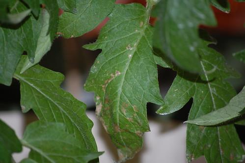 Leaf ailment