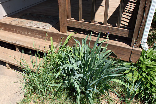 The clump of bearded iris in the corner formed by my front porch and stairs.  The leaves are green and the flower spikes have purple petals beginning to peek out of the buds.  There's some hasta on the right and a day lily hiding behind long grass on the left.