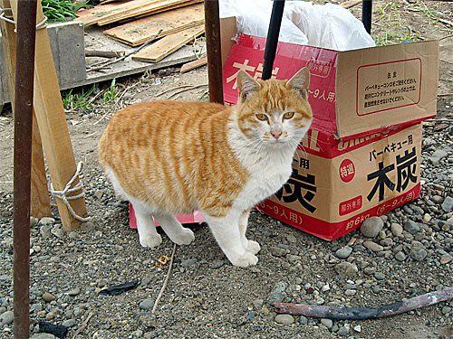 茶トラの猫(多摩川)