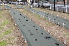 ひまわりのタネ植え
