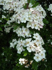 """Hawthorn flowers • <a style=""""font-size:0.8em;"""" href=""""http://www.flickr.com/photos/61957374@N08/5679700058/"""" target=""""_blank"""">View on Flickr</a>"""